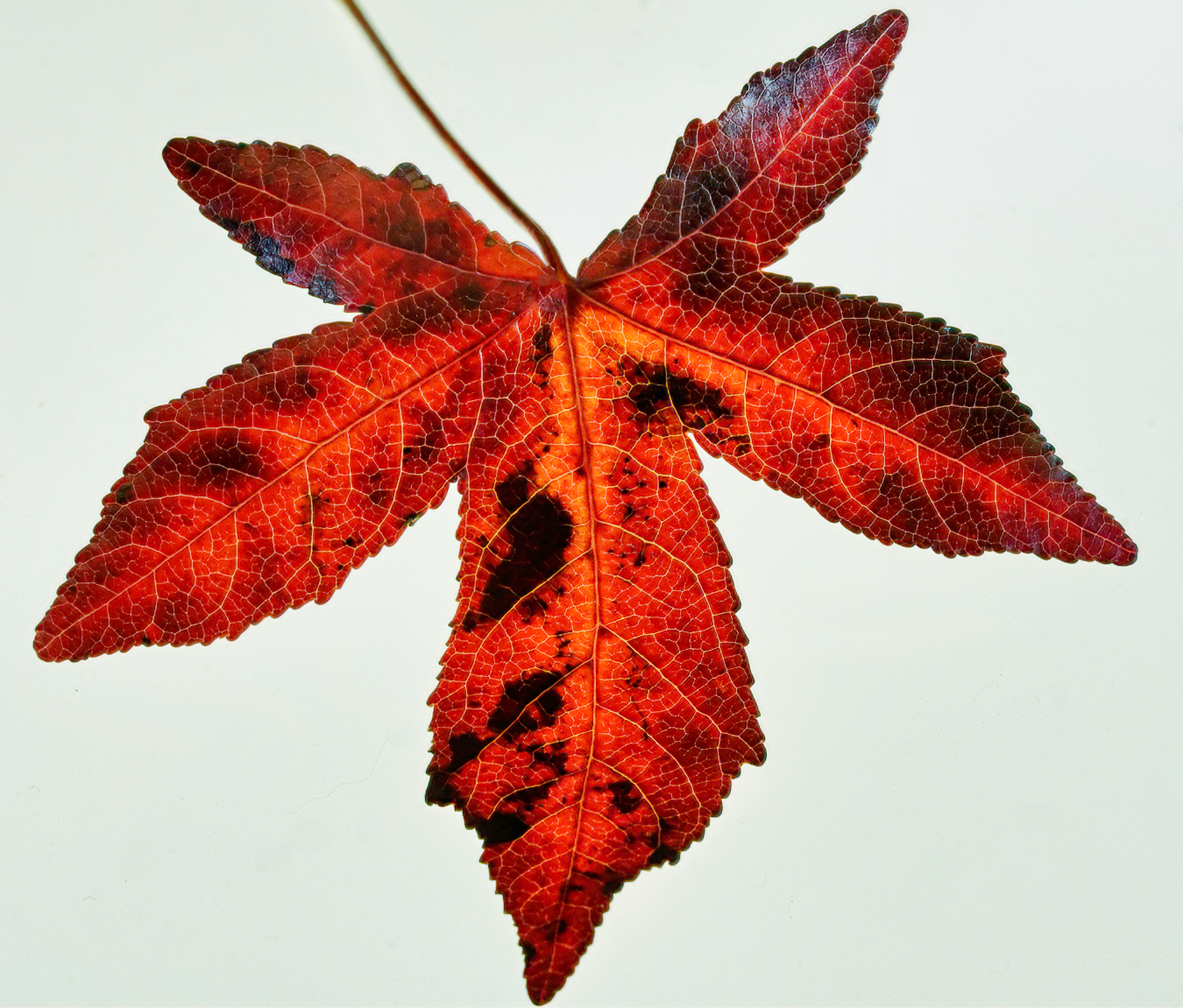 Brilliant Red Leaf in October.jpeg