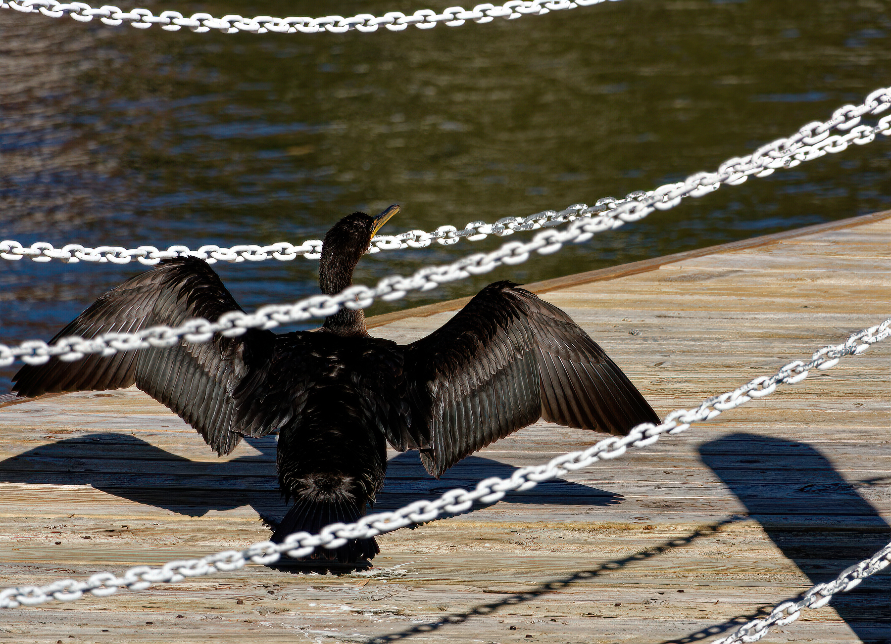 Morrey on the Pier Drying His Wings.jpeg