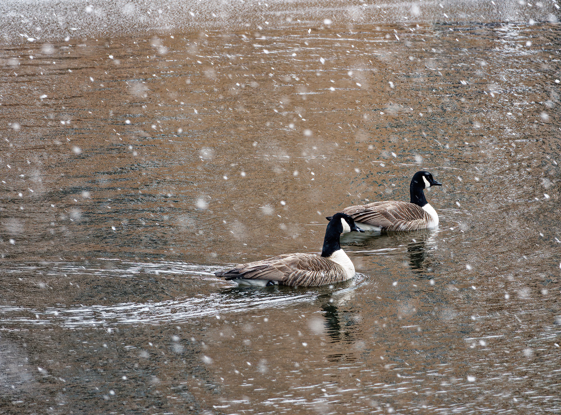 Snowing on the Geese.jpeg
