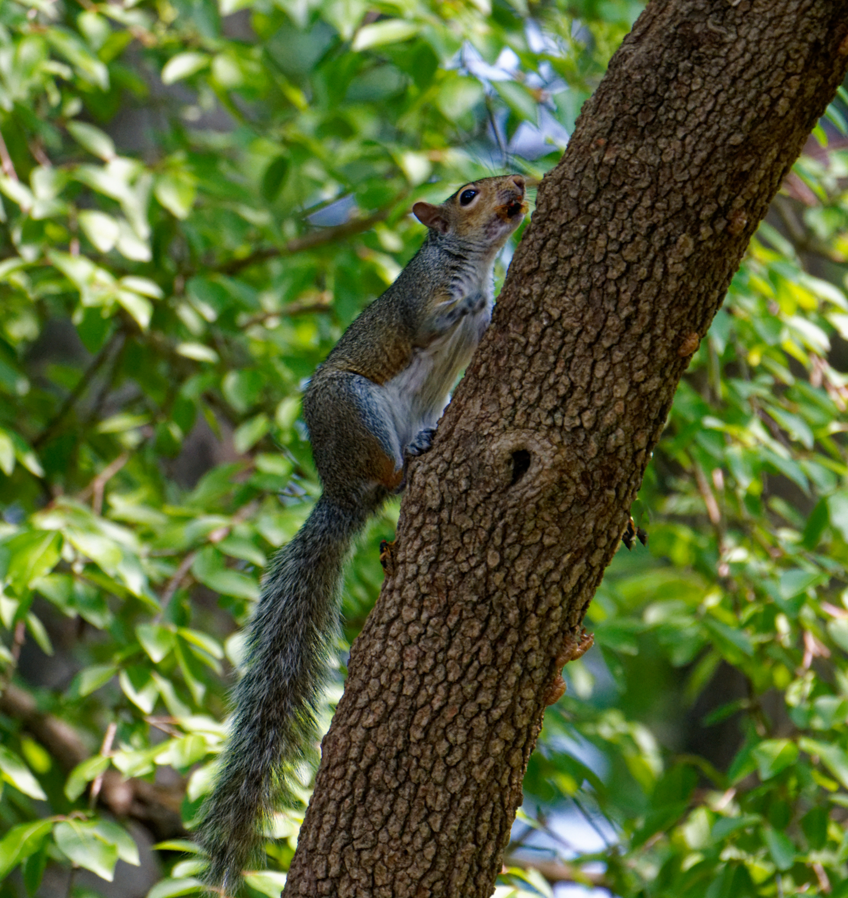 Squirrel With a Mouthful of Crunchy Treat.jpeg