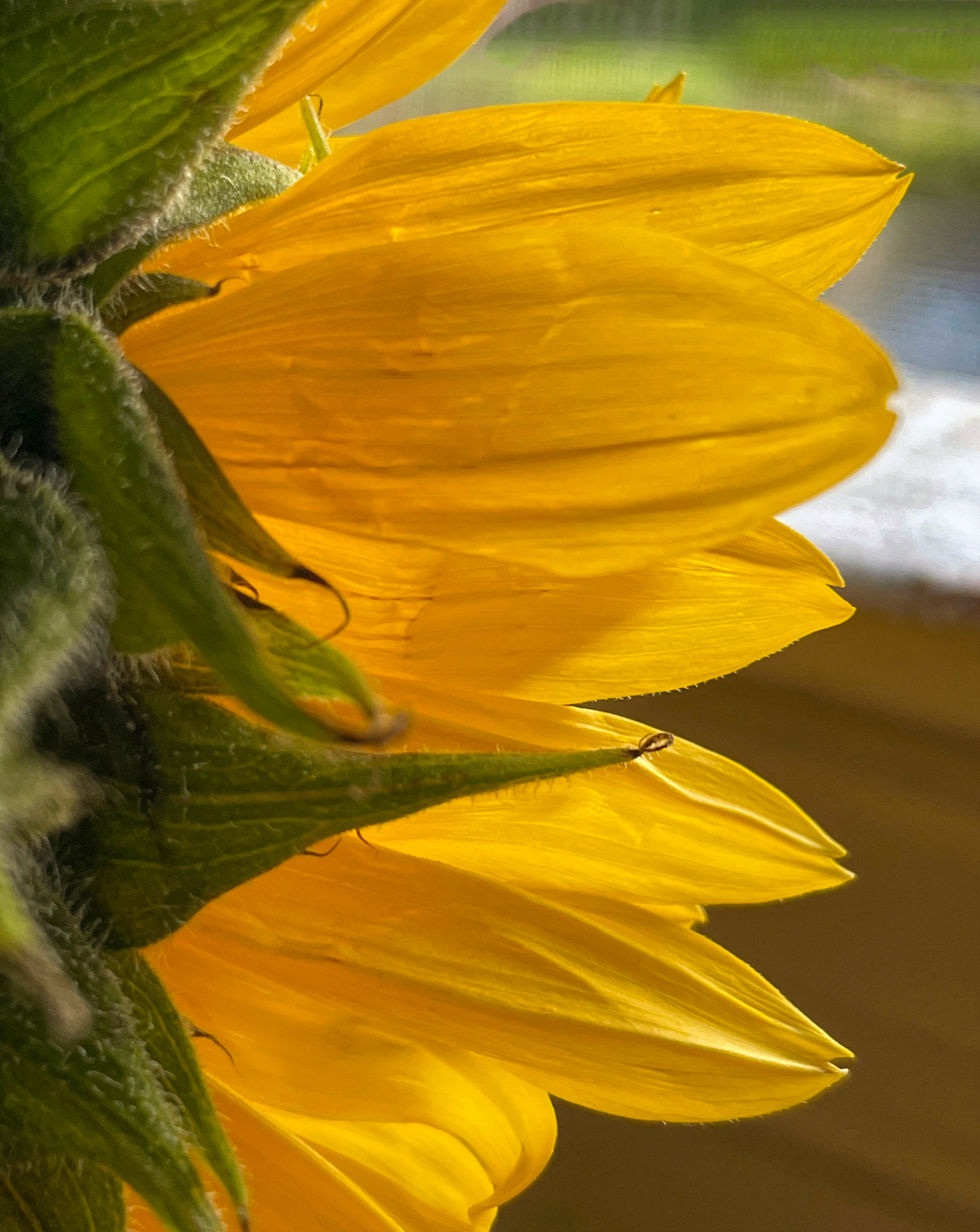 Sunflower Looking Out the Window.jpeg