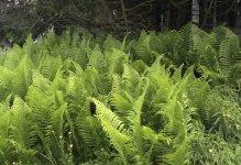 ferns from 2012.jpg